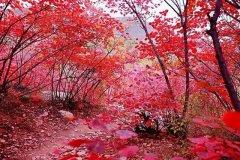 赏红叶,正当时!禹州鸠山迎来了最美的时节~