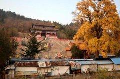 河南神垕的古银杏恰是一树金黄色 禹州唯一免费