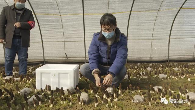 禹州顺店镇下毋村第二批鲜羊肚菌成熟了,小编喊你来尝鲜!