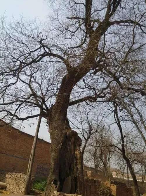 禹州朱阁镇祁庄村的古槐树