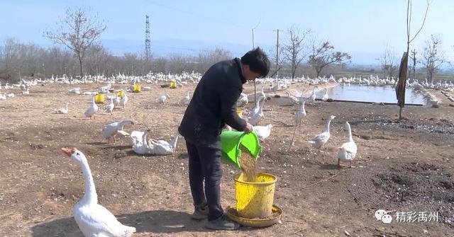 鹅鹅鹅!昨天禹州这群鹅去了千里之外...