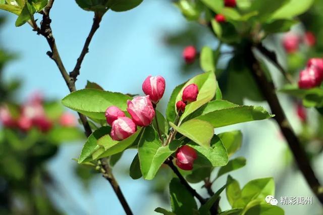 禹州市区的海棠花开了,请收下这组美图