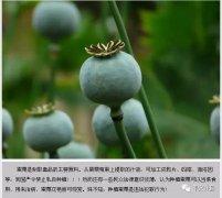 禹州市公安局关于严禁种植毒品原植物罂粟、大麻的通告