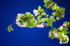 禹州市旅游局:炜摄会应是绿肥红瘦 夜海棠一组