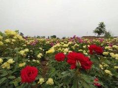 禹州惊现百亩月季园!刚刚拍回来的照片爆火!