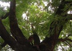 寄情六百年,见证新变化,一棵让禹州这个村骄傲的大槐树