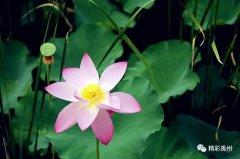 禹州夏季网红打卡地:荷花已盛开,明早谁约?