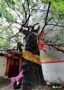 """禹州这里有棵700多岁的古槐,生长于""""两山""""间..."""