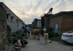 """禹州浅井:""""报告派出所,我捡了三头牛。"""