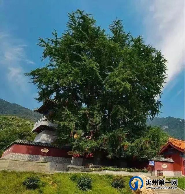 禹州瓷镇上的事物之六、故土三颗树