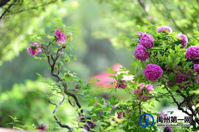 禹州龙之翔禹王宫宠粉节,邀你共赴洛阳国家牡丹园+倒盏民俗文化村!