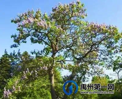 禹州老家的桐树