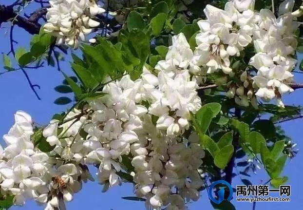禹州捋槐花
