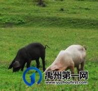共10处!禹州市发布畜禽养殖禁养区范围...
